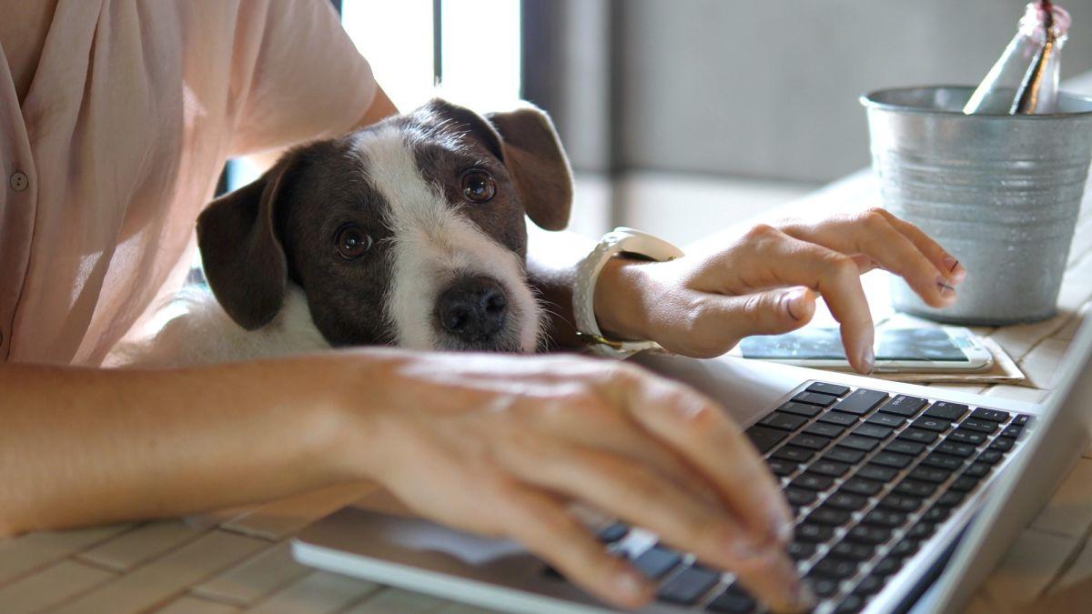 Home office kutyával - Bluebird
